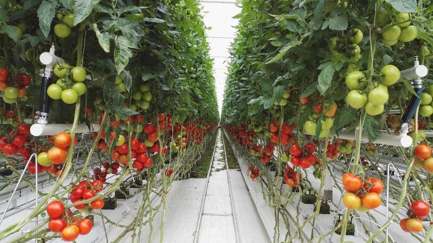 Les serres de tomates de Bessières vues de l\'intérieur
