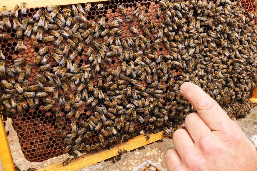 Ces abeilles ont butiné jusque dans l'Ain