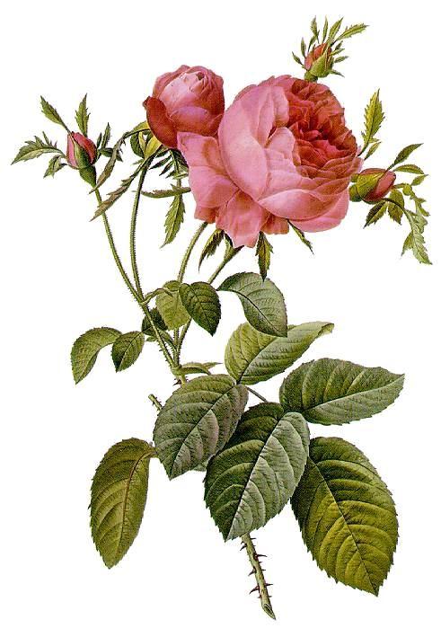 Rosa centifolia foliacea, 1824