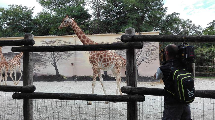Une girafe du zoo de La Flèche est filmée pour l'émission de France 4.