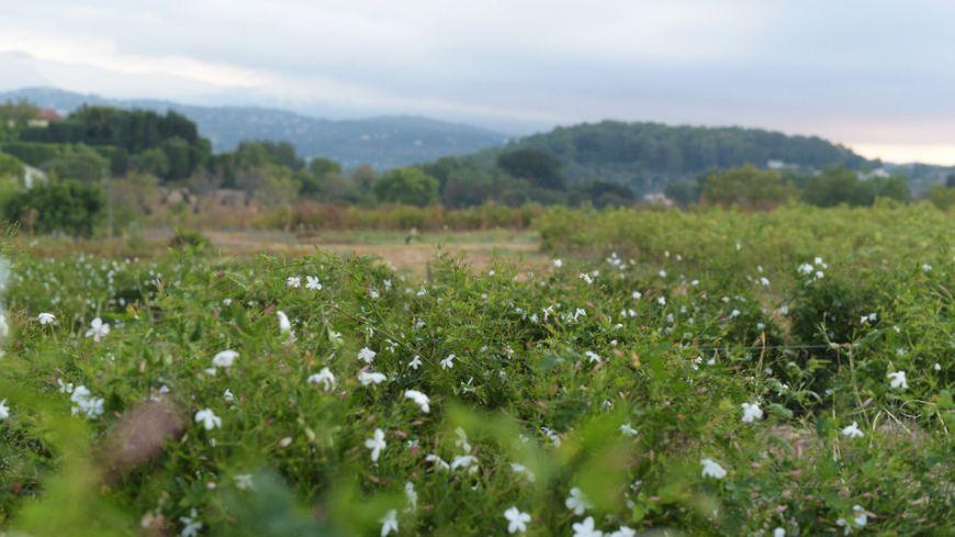 Les champs de jasmin au Domaine de Manon