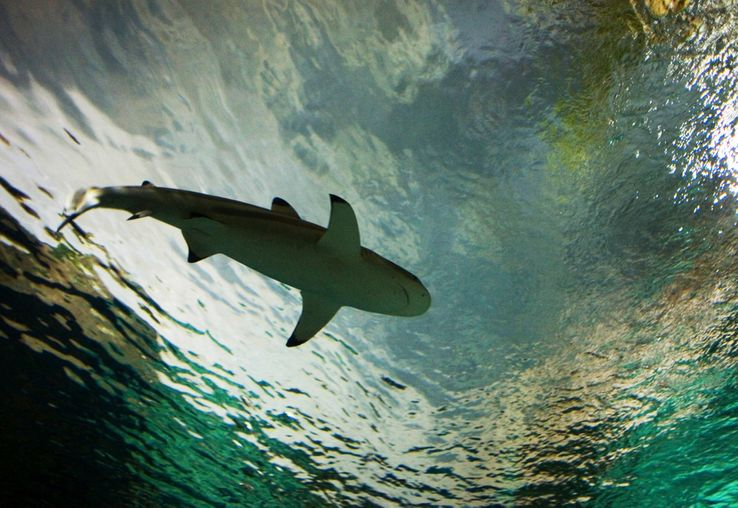 Requins : des super-prédateurs en danger ?