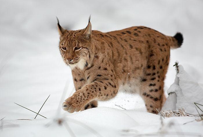 Lynx boréal distinctement tacheté de noir sur fond fauve.