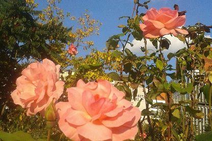 Roses du square Serge Gainsbourg à la Porte des Lilas