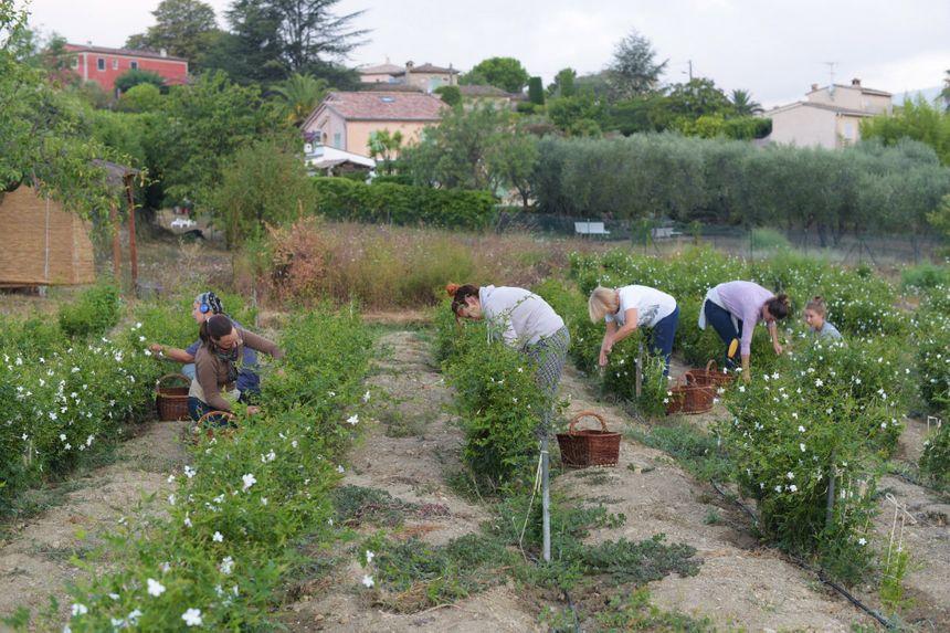 Récolte de jasmin au Domaine de Manon