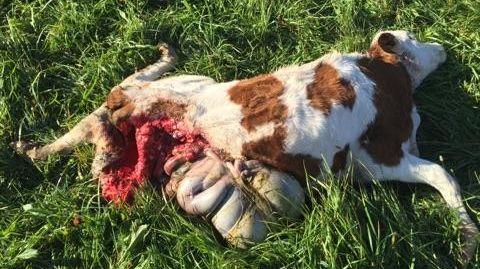 Veau attaqué par un loup à Lans-en-Vercors