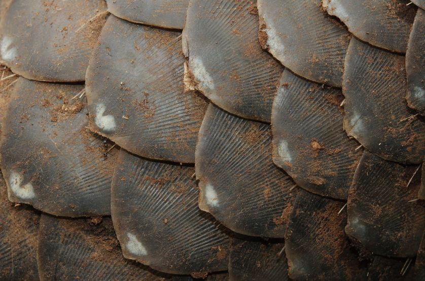 En juin dernier, les autorités hongkongaises ont découvert à l'intérieur d'un cargo provenant d'Afrique  4,4 tonnes d'écailles de pangolin !