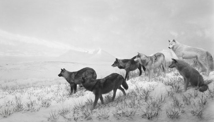 Alaskan Wolves, 1994