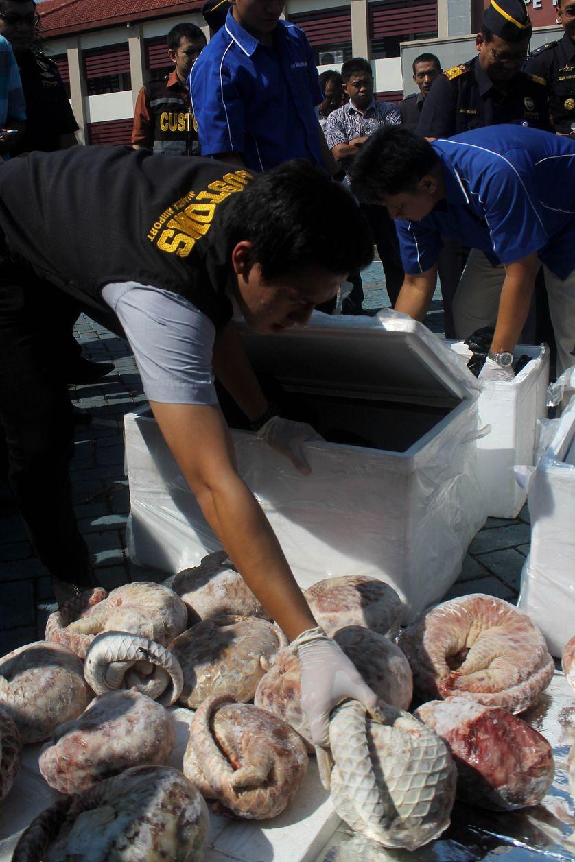 Saisie d'1,3 tonne de viande de pangolin congelée à Java, en juillet 2015