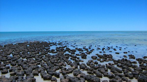 Stromatolites dans la baie des requins (Australie)