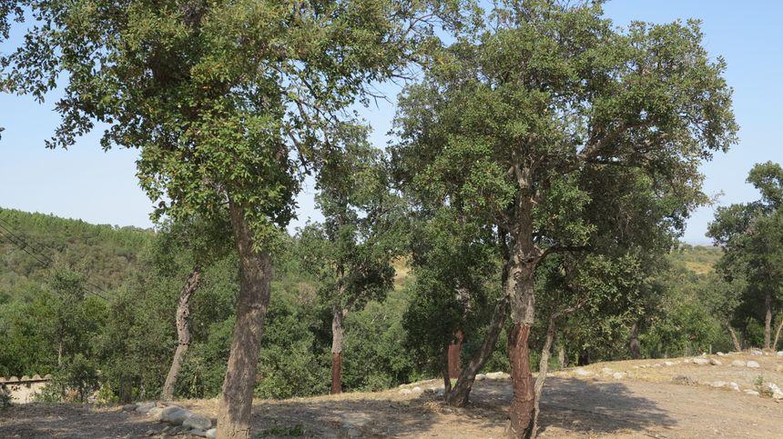 Dans le département, le chêne-liège est présent dans les massifs du Vallespir, des Aspres et des Albères.