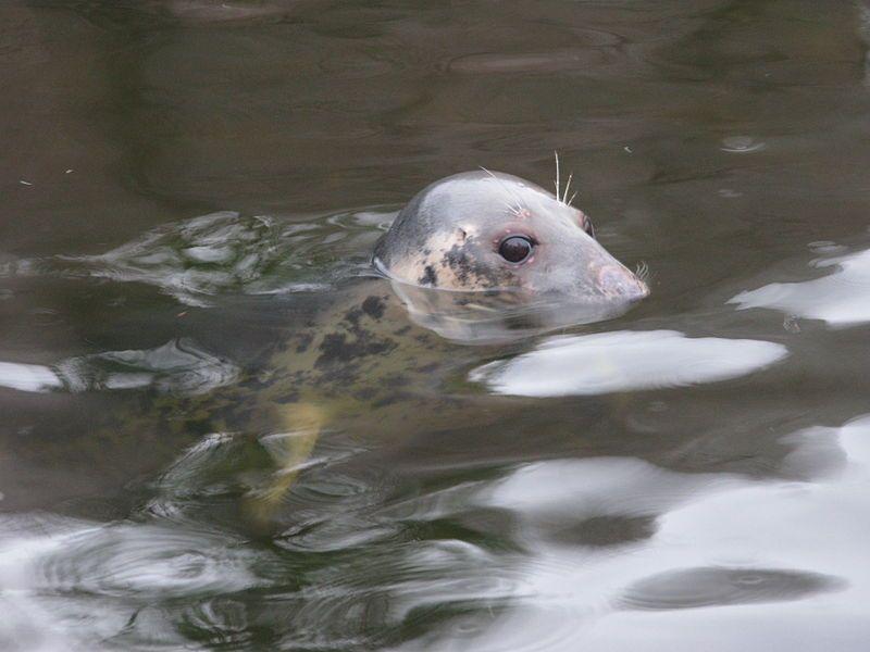 Le phoque gris, probable Nessie.
