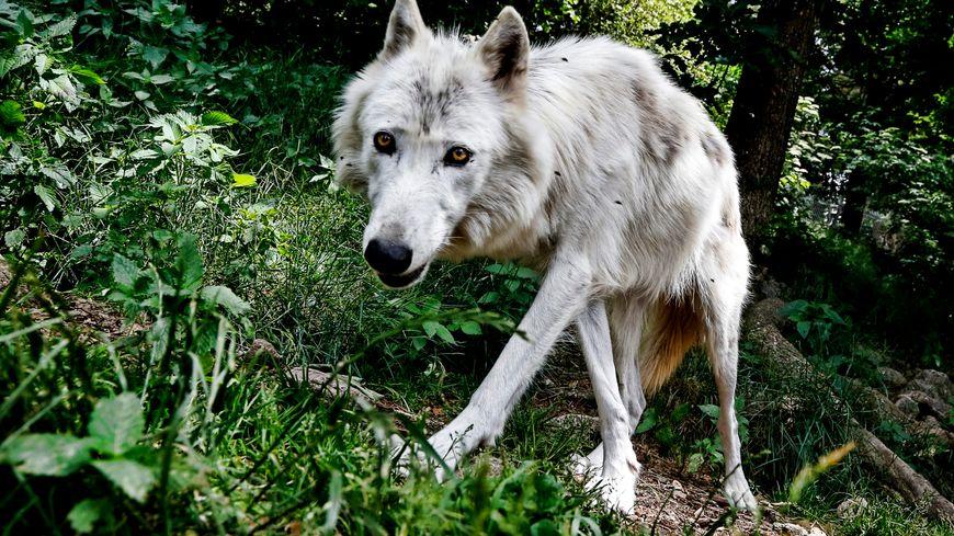 Un loup-photo d'illustration