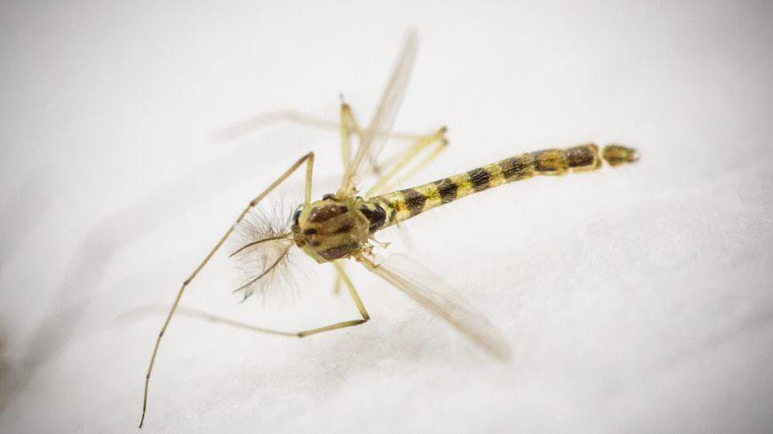 C'est à Schiltigheim, fin 2014, que le premier moustique tigre a été détecté en Alsace