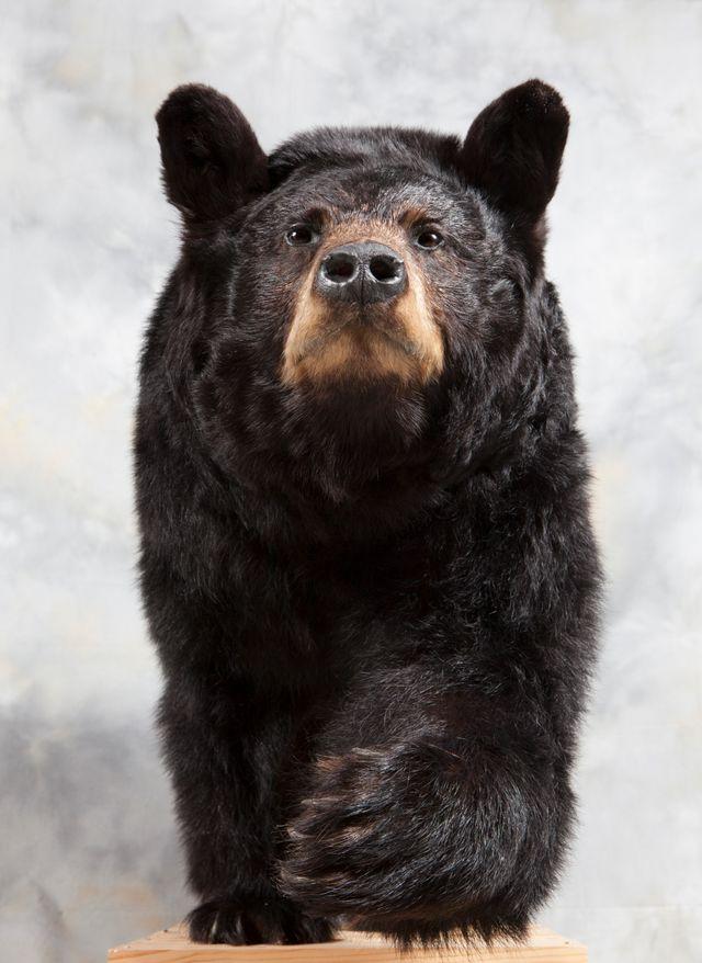 Ours noir naturalis