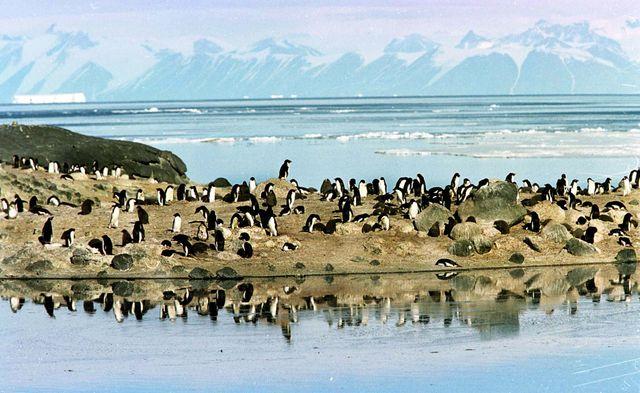 Une colonie de manchots d'Adélie installés sur un éperon rocheux au-dessus des piscines de fonte de glace en mer de Ross