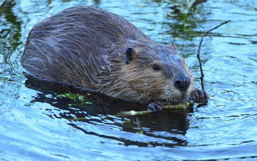 Le castor, ingénieur des écosystèmes