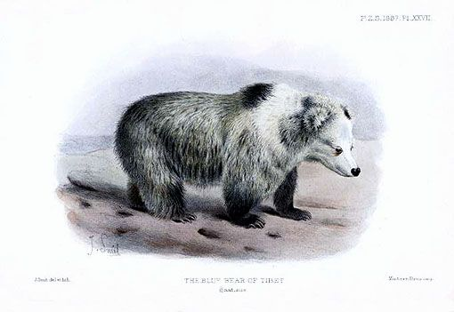Représentation de l'ours bleu tibétain.