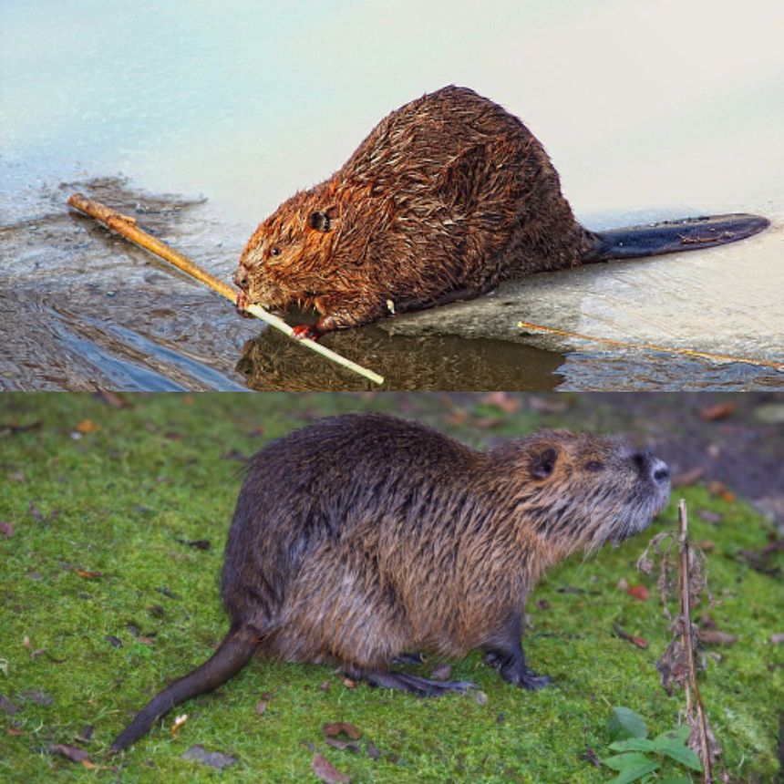 Ne pas confondre le castor (en haut) et le ragondin (en bas)