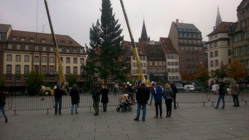 Le sapin de 31 mètres de haut a été coupée dans les Vosges du nord il y a une semaine.