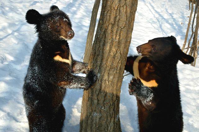 Jeunes ours à collier