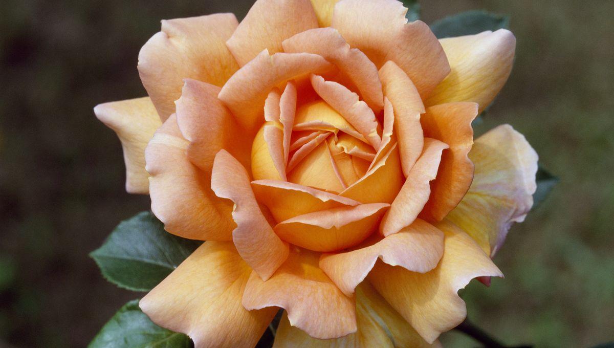 La rose-thé - Théophile Gautier 1200x680_gettyimages-492777487