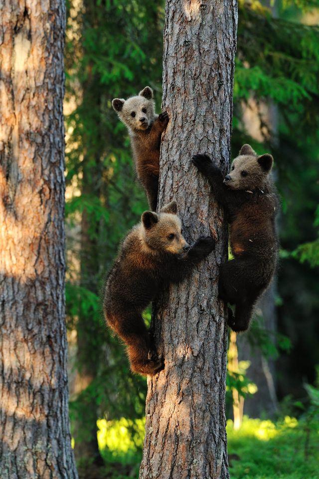 Jeunes ours bruns grimpant à un arbre