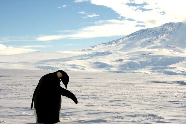 Un penguin empereur, près du Mont Erebus, sur l'île de Ross, dans la mer de Ross