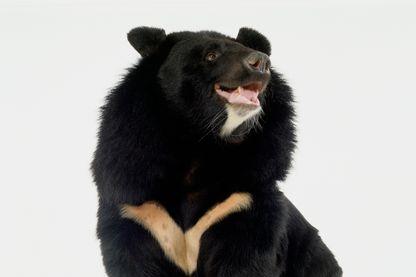 Ours noir de l'Himalaya