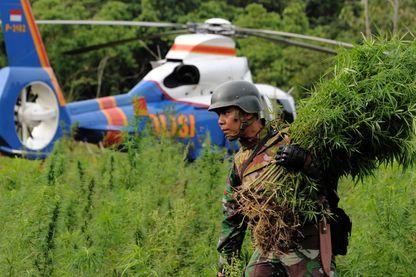 Destruction de plantations de cannabis par l'armée - Aceh Besar en Indonésie, 1er avril 2016