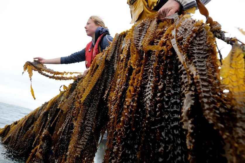 Des employés d'Algolesko, une compagnie de production d'algues, vérifie les cultures.