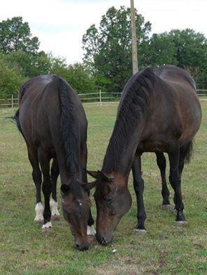 Les chevaux à recueillir