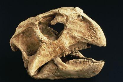 Crâne de Psittacosaurus