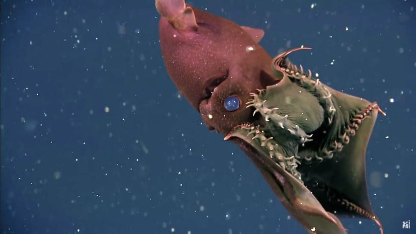 Le Vampyroteuthis infernalis.
