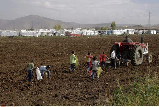 Des enfants syriens récupèrent de quoi manger dans un champ de tomates, pour nourrir leur famille