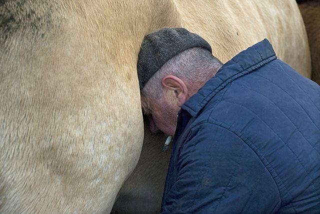 JC Ramon traite une vache