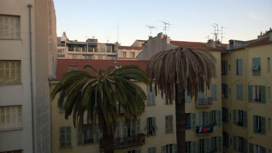 Des palmiers à Nice infestés par le charançon rouge.