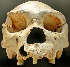 Crâne 5 de la Sima de los Huesos d'Atapuerca en Espagne surnommé Miguelón, dégagé en 1992 avant la découverte ultérieure de sa mandibule.