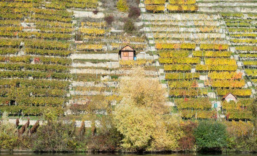 Le feuillage des vignes, couleurs automnales,  un vignoble près de la rivière Neckar à Stuttgart