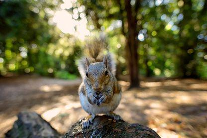 L'écureuil gris fait partie des espèces invasives