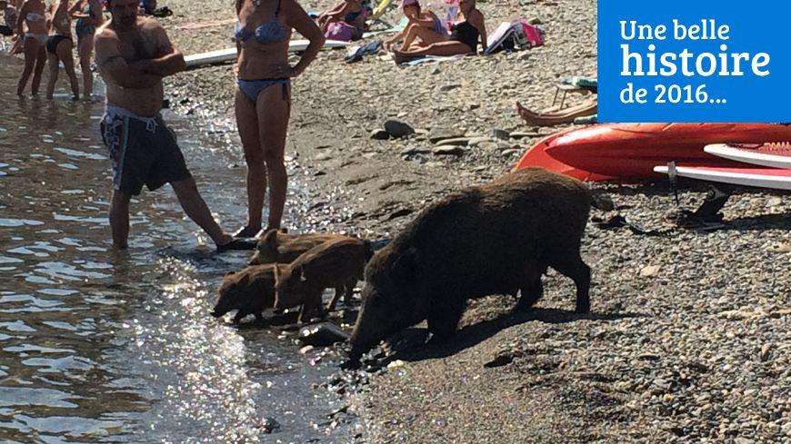 La laie et ses cinq marcassins ont pataugé dans l'eau, sous les regards étonnés des baigneurs.