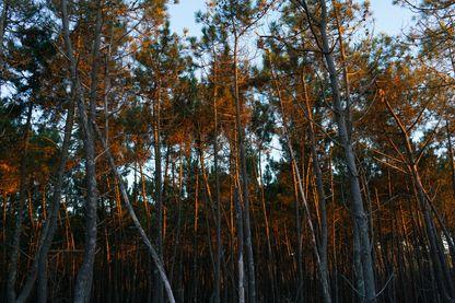 Le gemmage (extraction de la gemme - ou résine - du pin), une pratique qui était tombée en désuétude et qui revient aujourd'hui dans la forêt des Landes