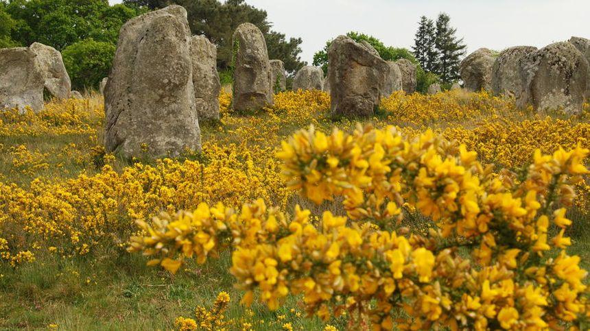 L'ajonc, élu plante emblème de la Bretagne, fleurit à Carnac