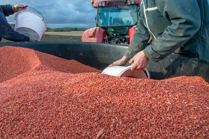 Approvisionnement du semoir à grains avec des semences traitées de récolte fermière de blé tendre