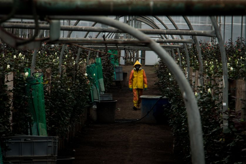 Fumigation d'une serre de roses, Equateur