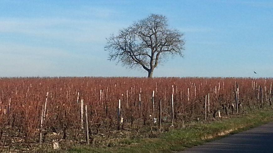 L'extension du vignoble et les remembrements expliquent la disparition d'un grand nombre d'arbres