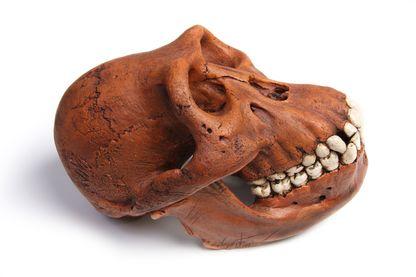 Crâne d'australopithèques fossilisée