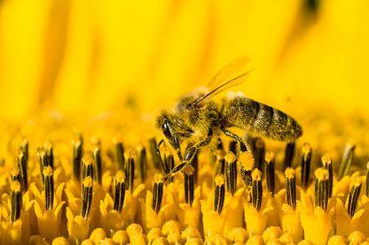 Collecte du nectar