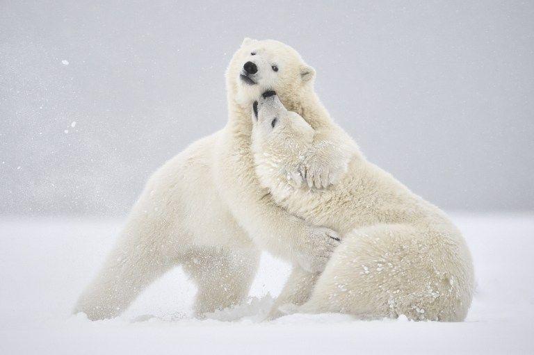 Deux ours polaires jouent dans la neige sur l'île Barter en Alaska