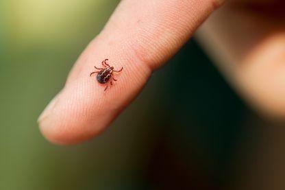 Au moins 27 000 personnes seraient touchées par la maladie de Lyme, transmise par la tique, chaque année en France